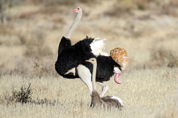 Секс страуса