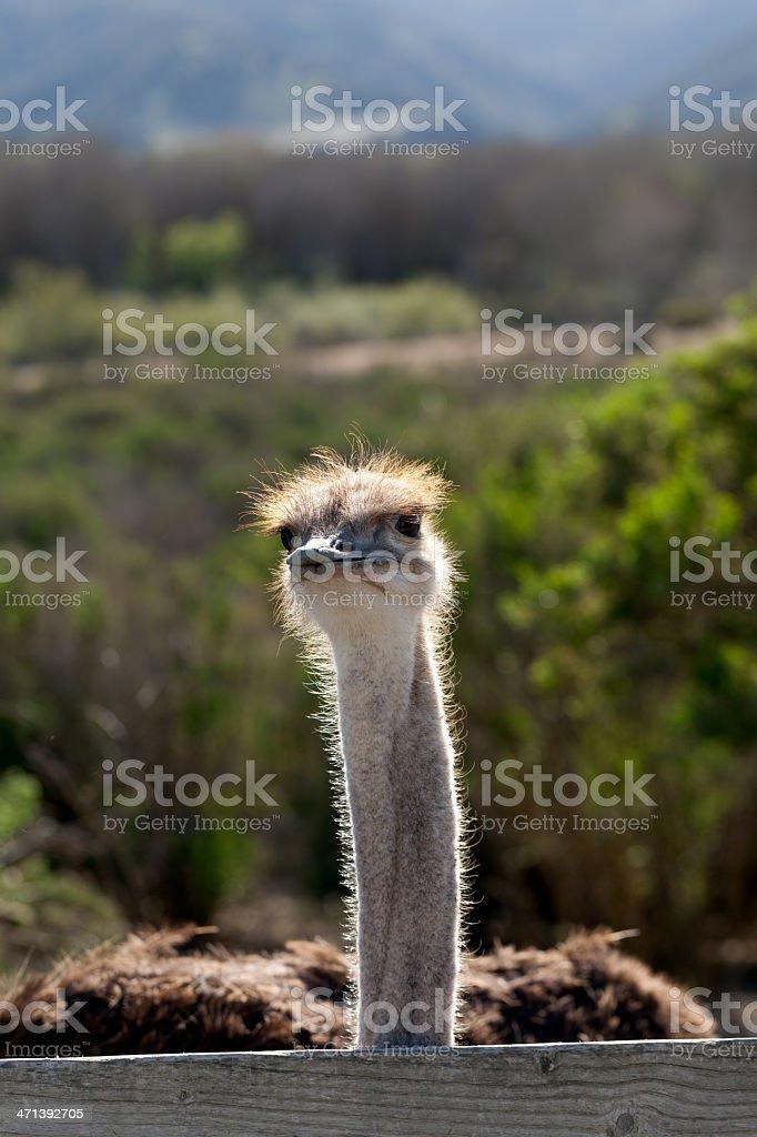 ostrich (XXXL) royalty-free stock photo