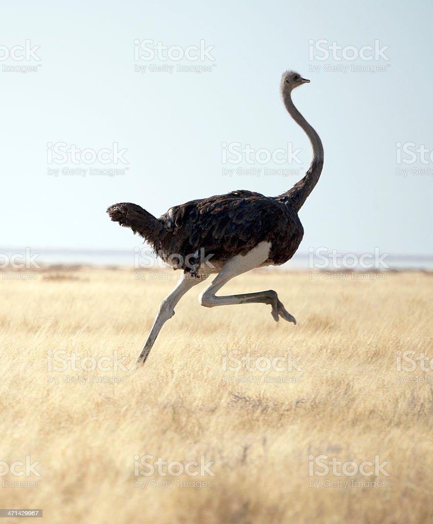 Avestruz - foto de stock