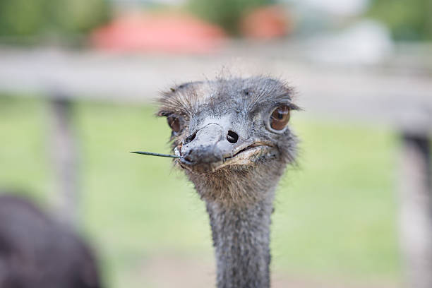 Ostrich Ostrich head in the sand stock pictures, royalty-free photos & images