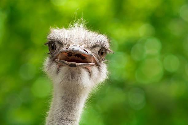 Ostrich picture id491842157?b=1&k=6&m=491842157&s=612x612&w=0&h=wss7ygbgw8xej4h5isycw1aqll0hycn61nq0710w8m8=