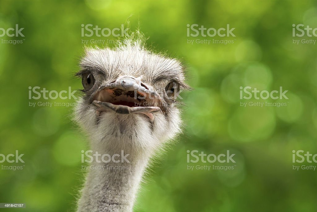 Ostrich (shallow DOF) stock photo