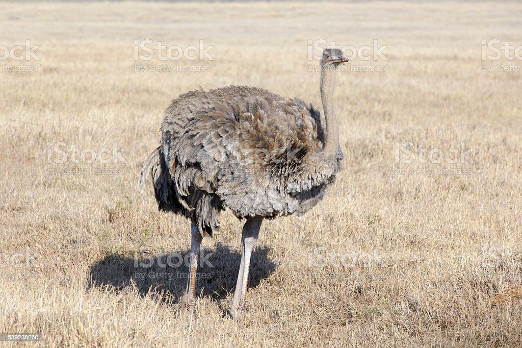 Ostrich (Struthio camelus) royalty-free stock photo