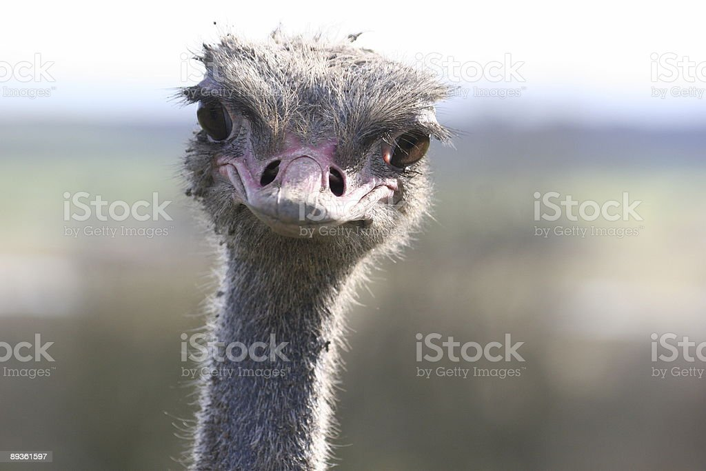 Ostrich royalty free stockfoto