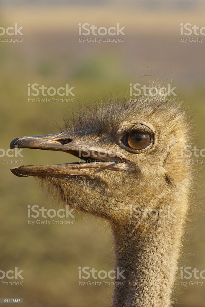 Ostrich - portrait royalty-free stock photo