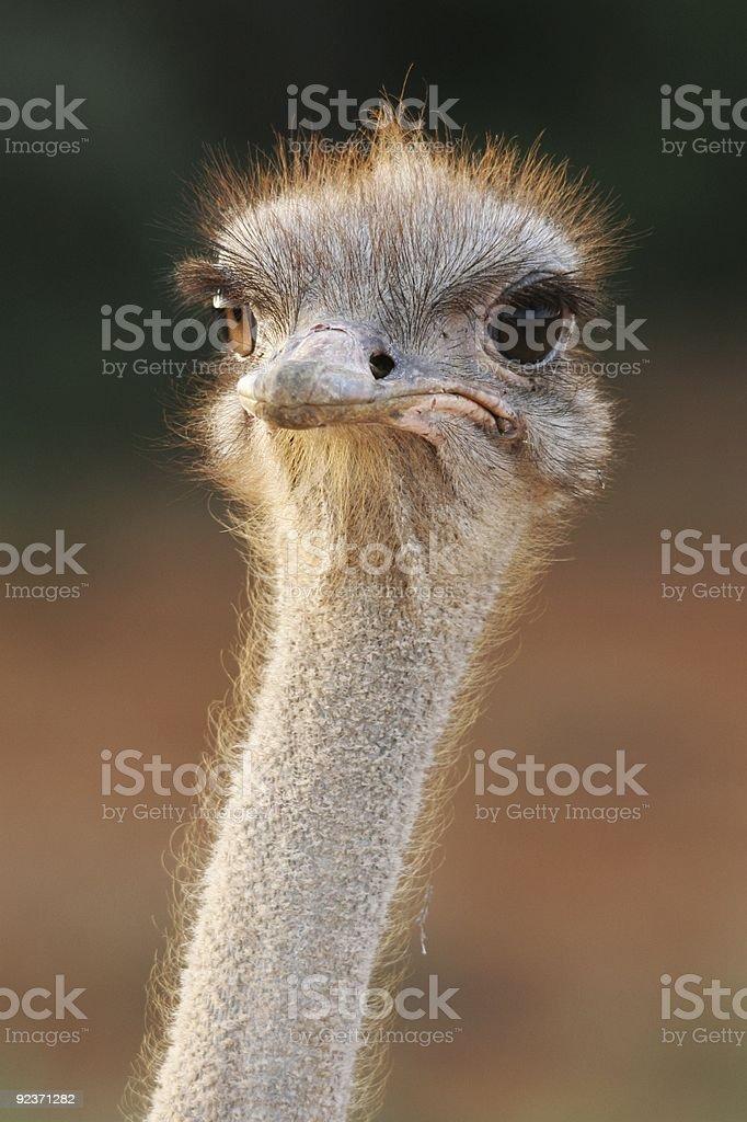 Ostrich Portrait royalty-free stock photo