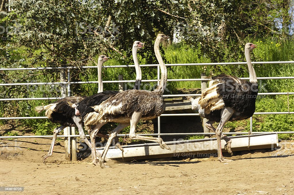 Ostrich Running in Ranch Pen royalty-free stock photo