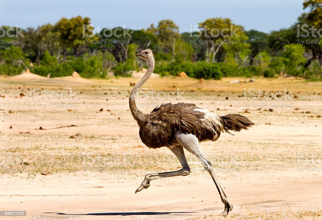 Ostrich running on the Open Plains in Hwange stock photo
