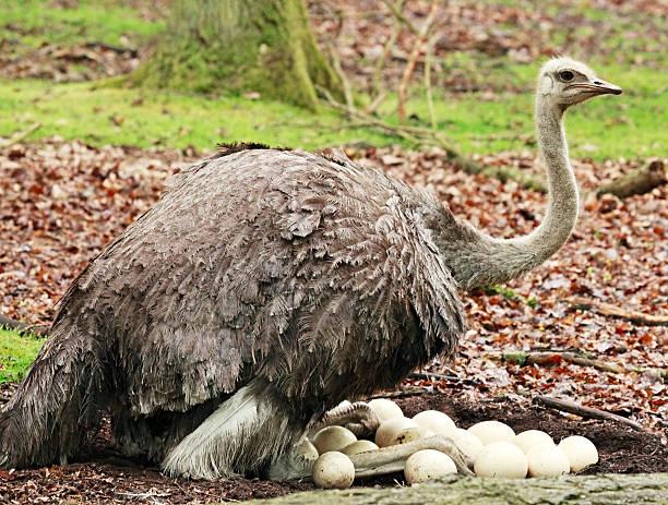 Avestruz sentado en su huevos - foto de stock