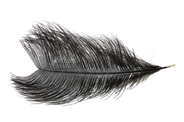 Ostrich_Feather stock photo