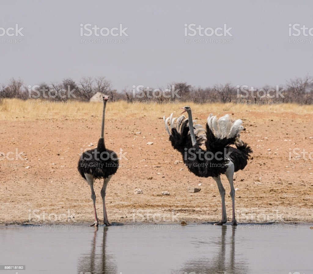 Ostriches At A Watering Hole stock photo