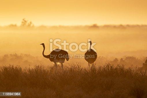 Common ostrich (Struthio camelus) in Etosha National Park, Namibia.
