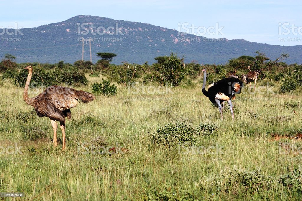 Ostriches in Kenya Tsavo West stock photo