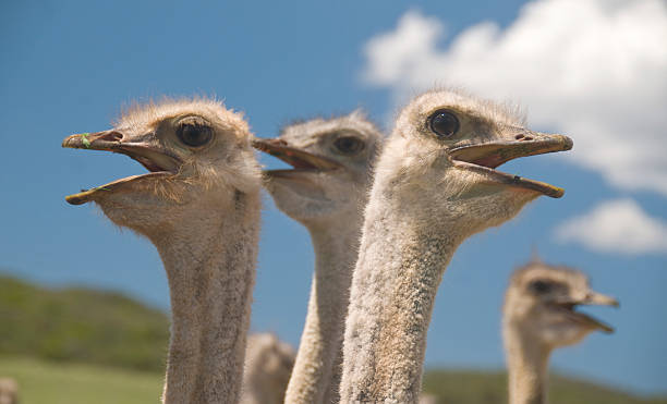 Ostriches in the Klein Karoo, South Africa stock photo