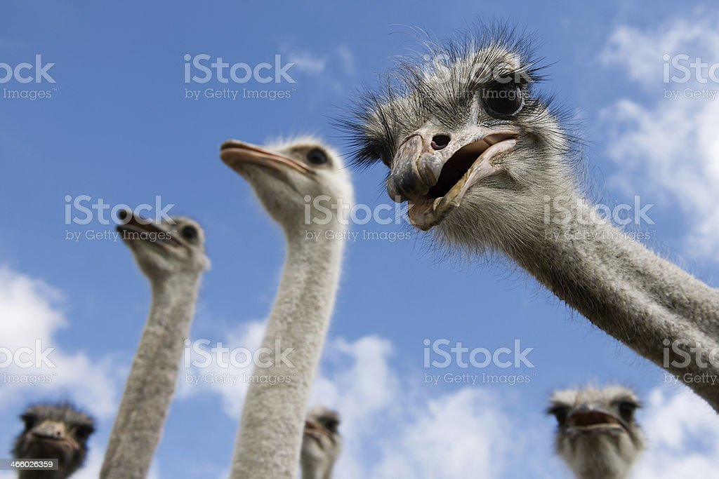 ostriches looking down into the camera stock photo