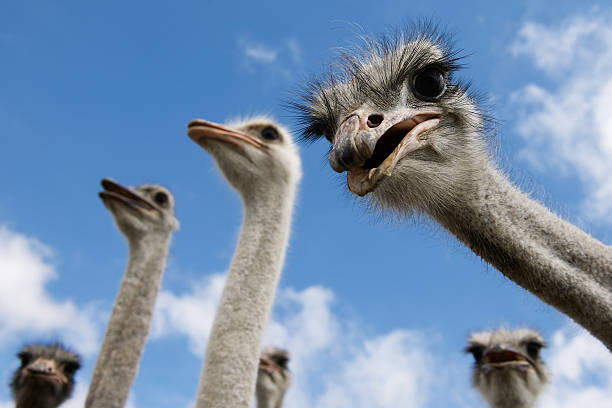 ostriches looking down into the camera - struisvogel stockfoto's en -beelden