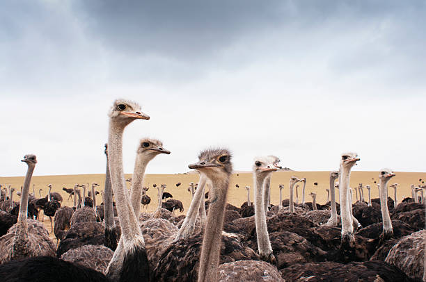 Avestruces - foto de stock