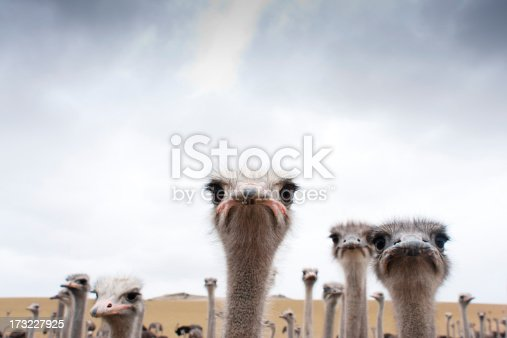 A group of Ostriches in a field.