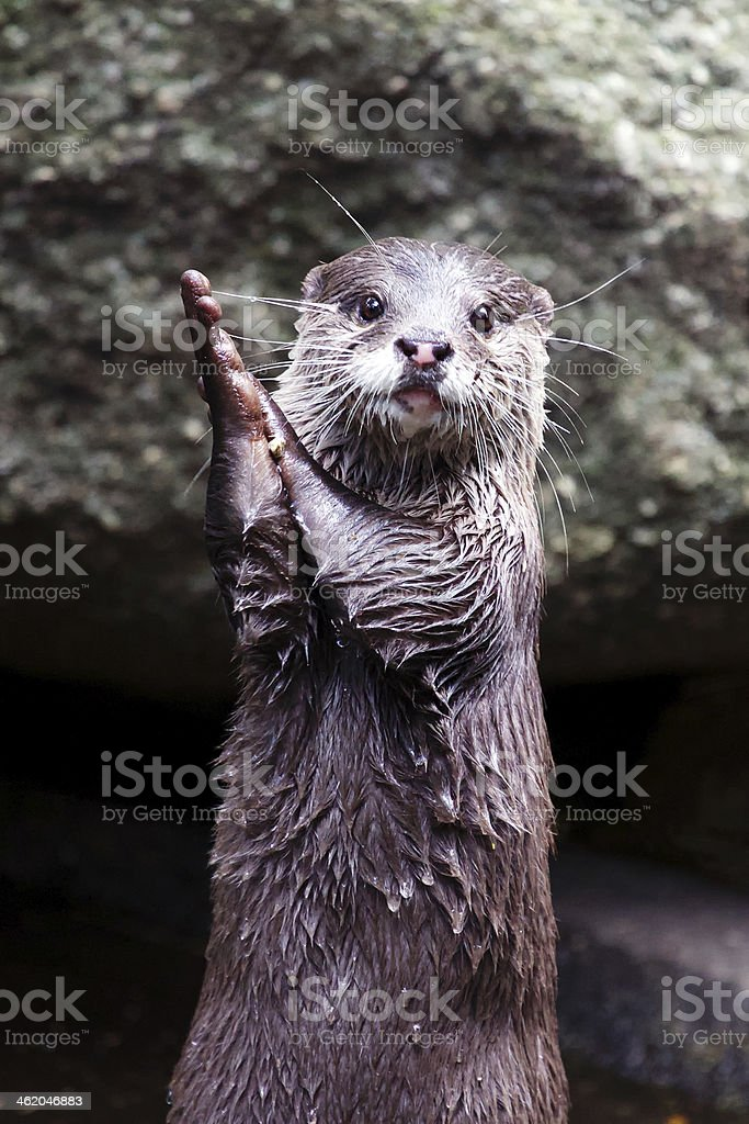 Otter Clapping Hands Stock Photo More Pictures Of Animal Istock