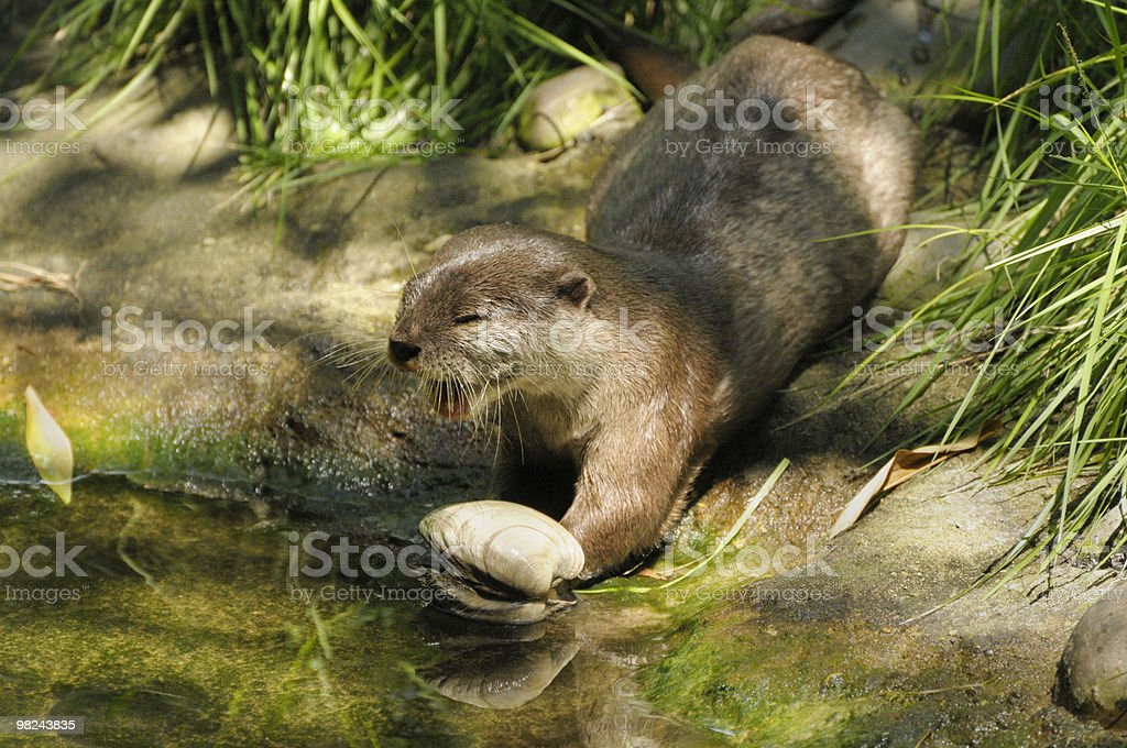 Otter eating Clam Lunch by a Stream royalty-free stock photo