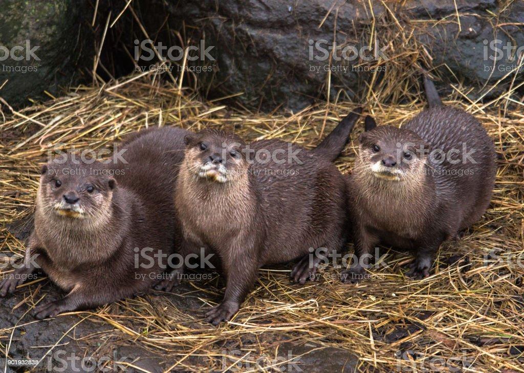 Otter Family stock photo