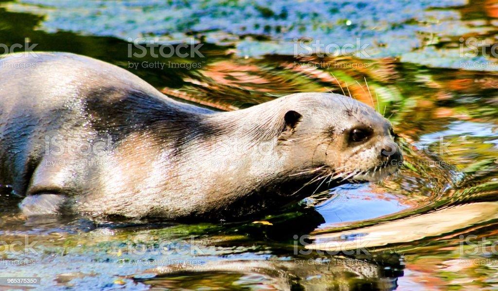 Otter Heaven royalty-free stock photo