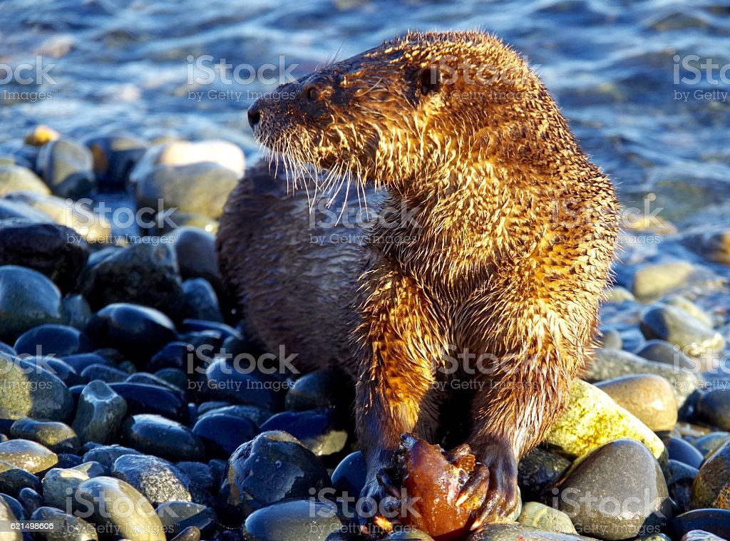 Otter holding half eaten fish while looking away. photo libre de droits