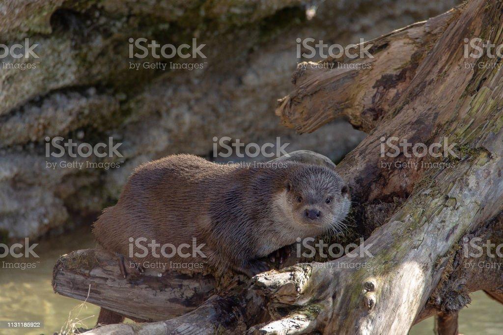 otter on a tree stump stock photo