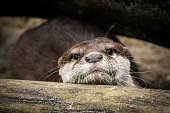 Portrait of an otter on the sandy river bank under a fallen tree. Its muzzle and head are covered by sand grains. The otter curiously sniffed around the trunk and at the moment looked directly into the camera.
