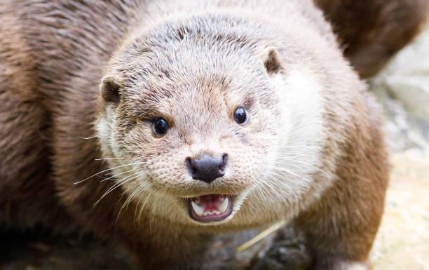 otter – Foto