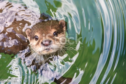An otter is looking straight up at the camera from the water