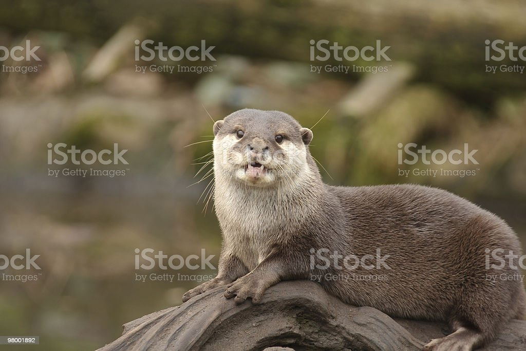 Otter royalty-free stock photo
