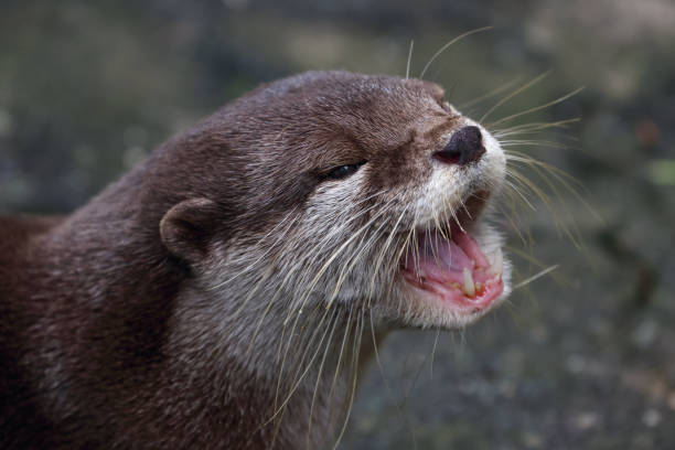 Otter portrait stock photo