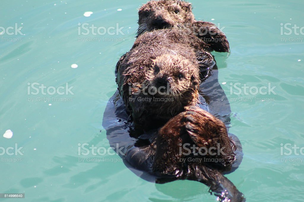 Otter Pup Held By Mother Otter stock photo