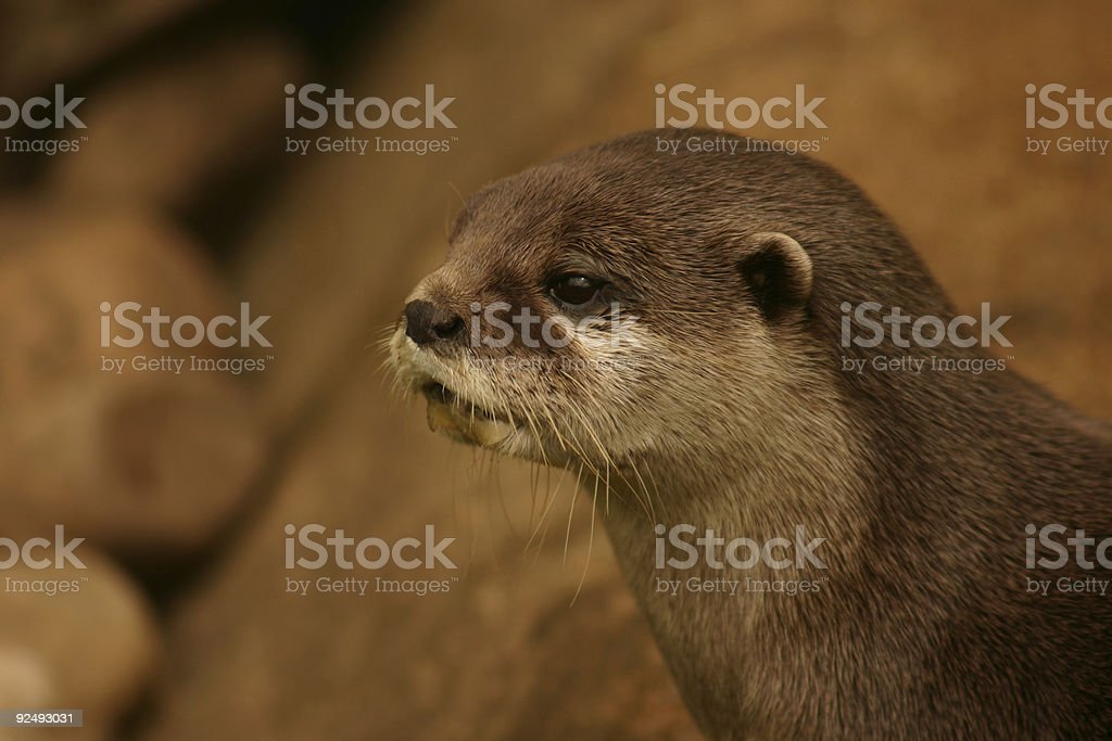 Otter UK royalty-free stock photo