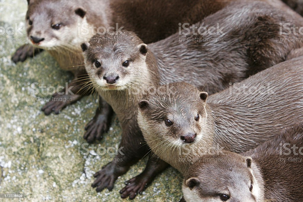 Otters stock photo