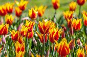 Ottoman Tulips in Emirgan Park, Sariyer - Istanbul, Turkiye