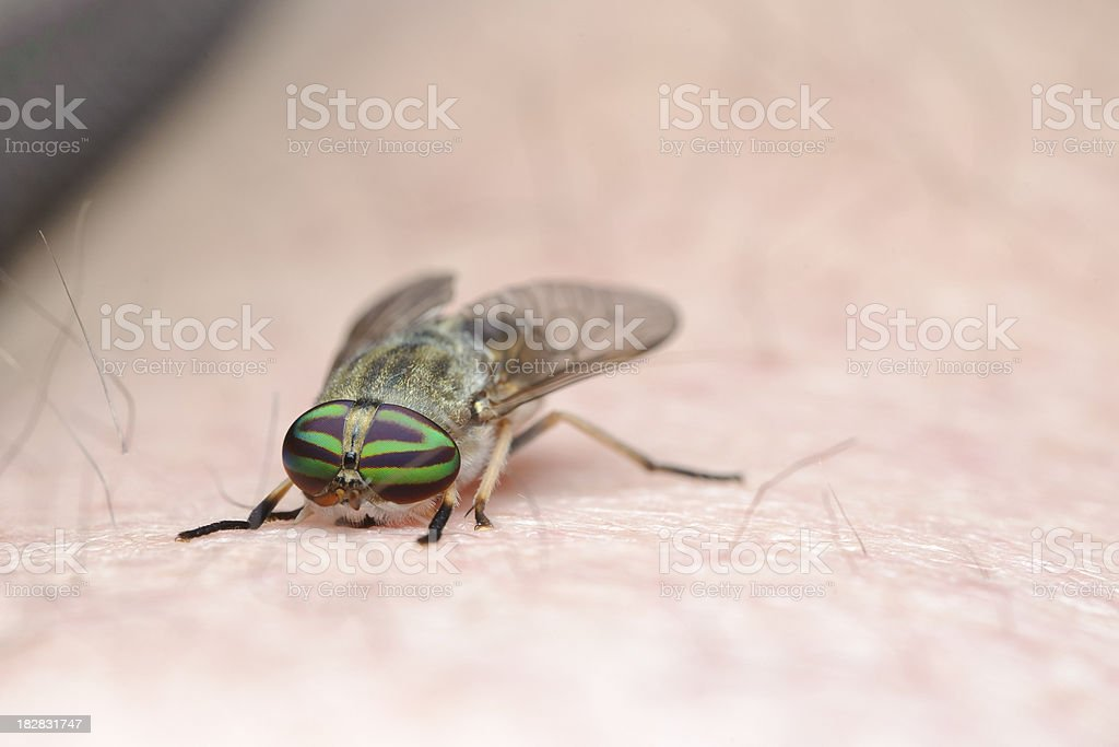 Ouch! Horse Fly Bites! royalty-free stock photo