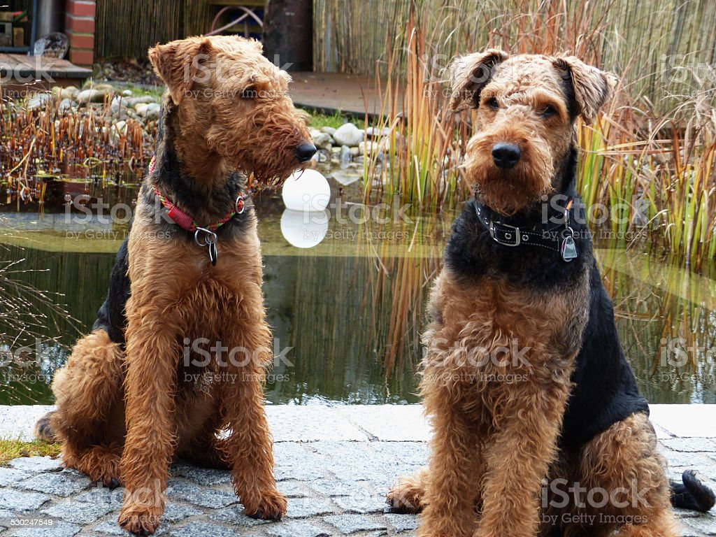 Our Airedale Terrier - And his playmate... stock photo
