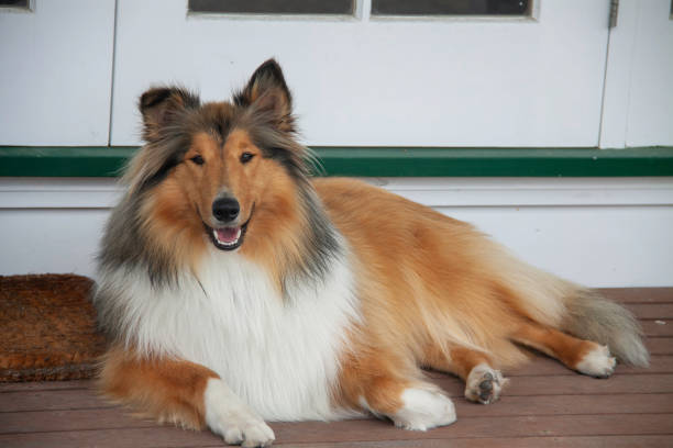 Our beautiful young pedigree rough coated black and sable collie posing on the deck our loved pet sitting outside on the deck alternative pose stock pictures, royalty-free photos & images
