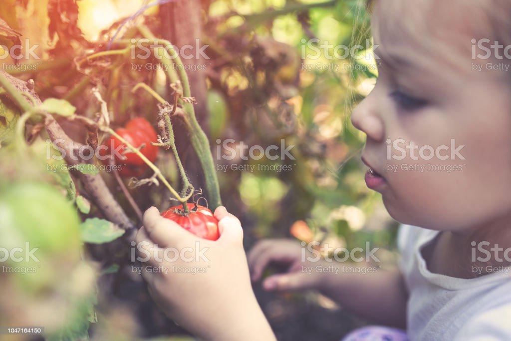 Unsere Bio-Tomaten – Foto