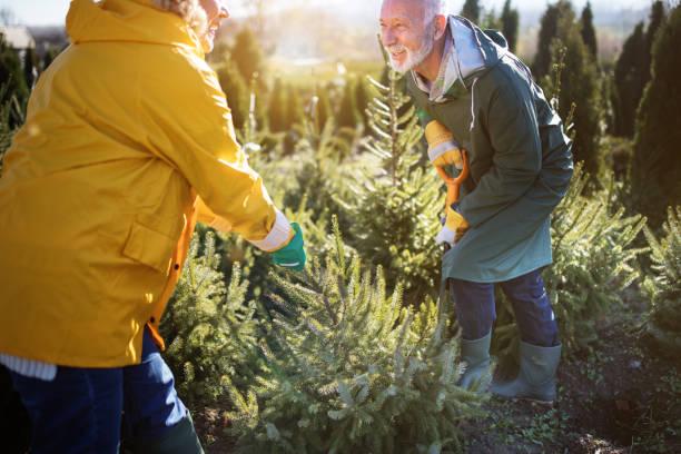 unsere kleine immergrüne kindergarten und weihnachtsbaum farm - alte weihnachtsbäume stock-fotos und bilder