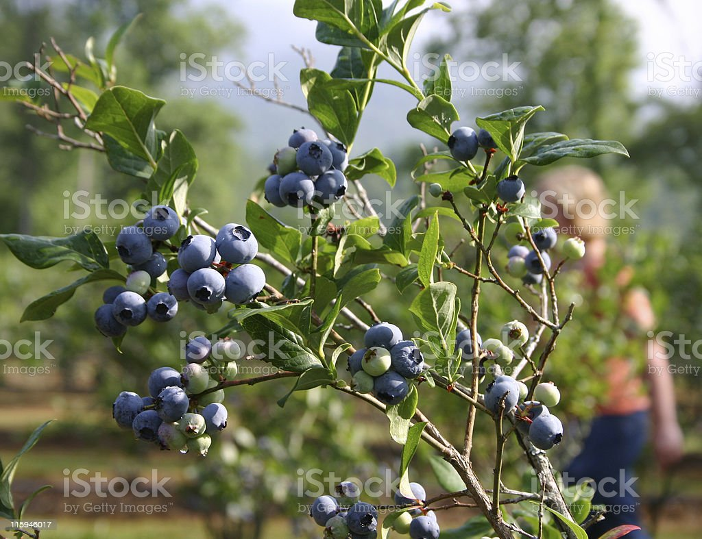 Out Blueberry Picking royalty-free stock photo