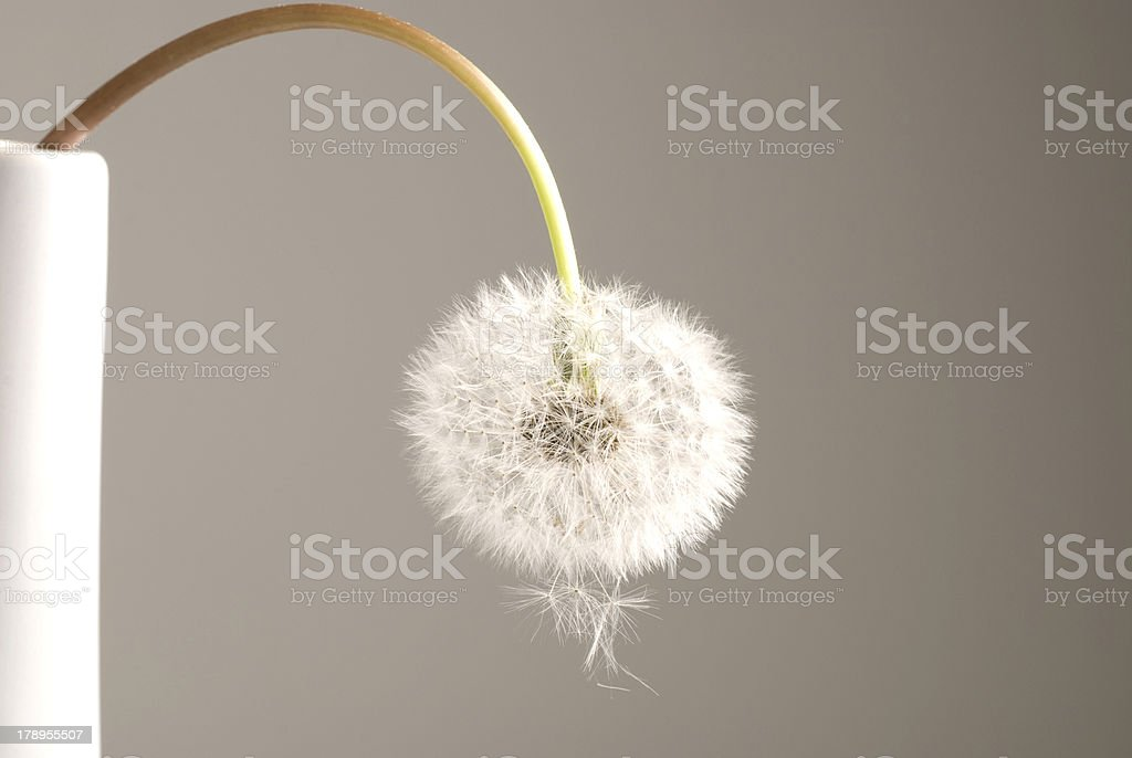 Out of Sours Fluffy dandelion seed ball. Abstract Stock Photo