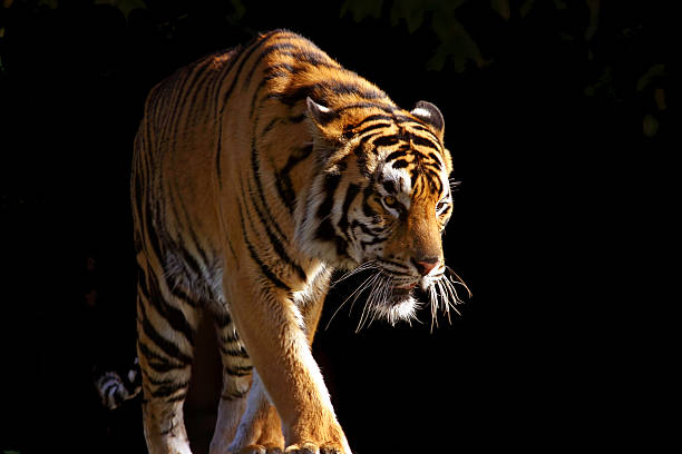 370 Tiger Black Background Stock Photos Pictures Royalty Free Images Istock