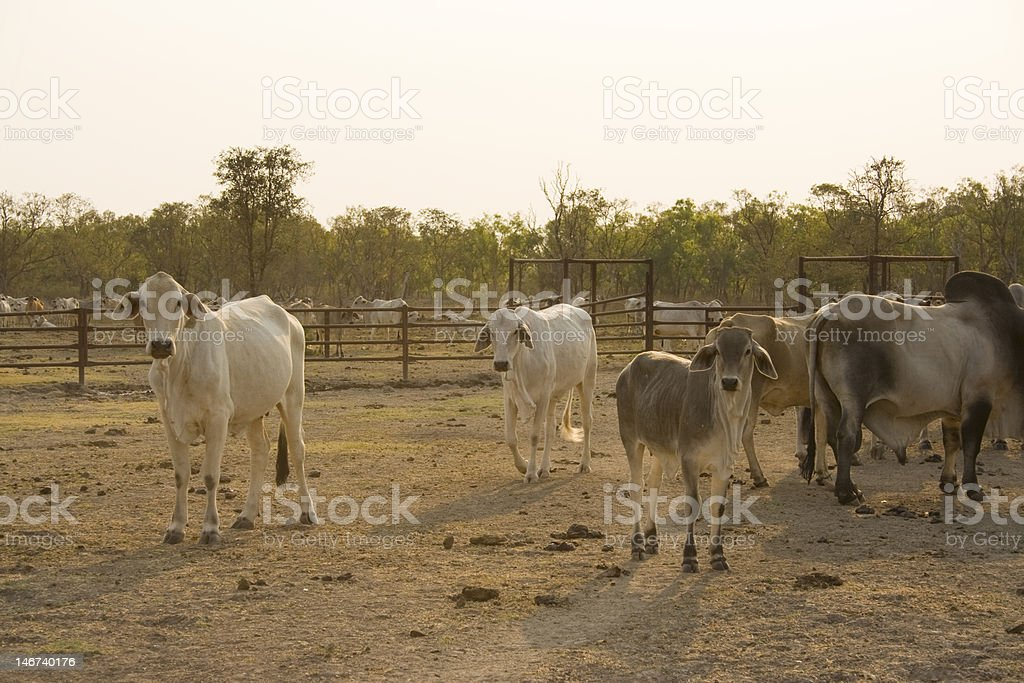 Outback cattle stock photo