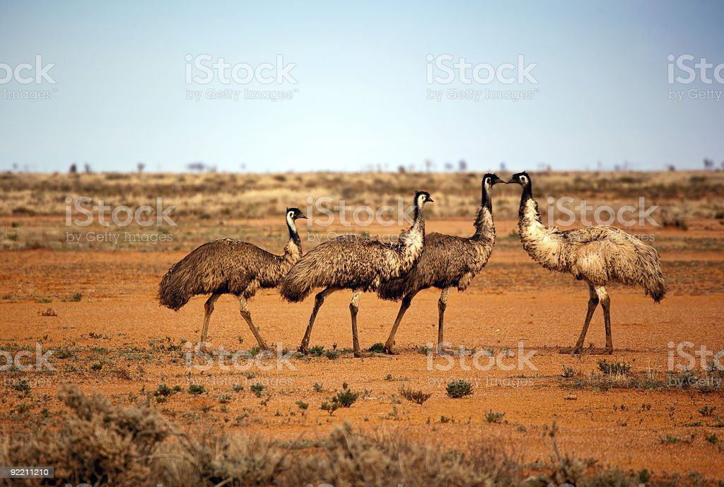 Outback Emus stock photo