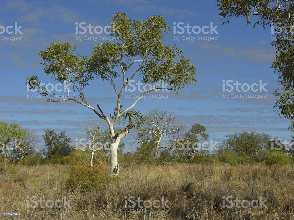 Outback eucalyptus tree in the Kimberley royalty-free stock photo