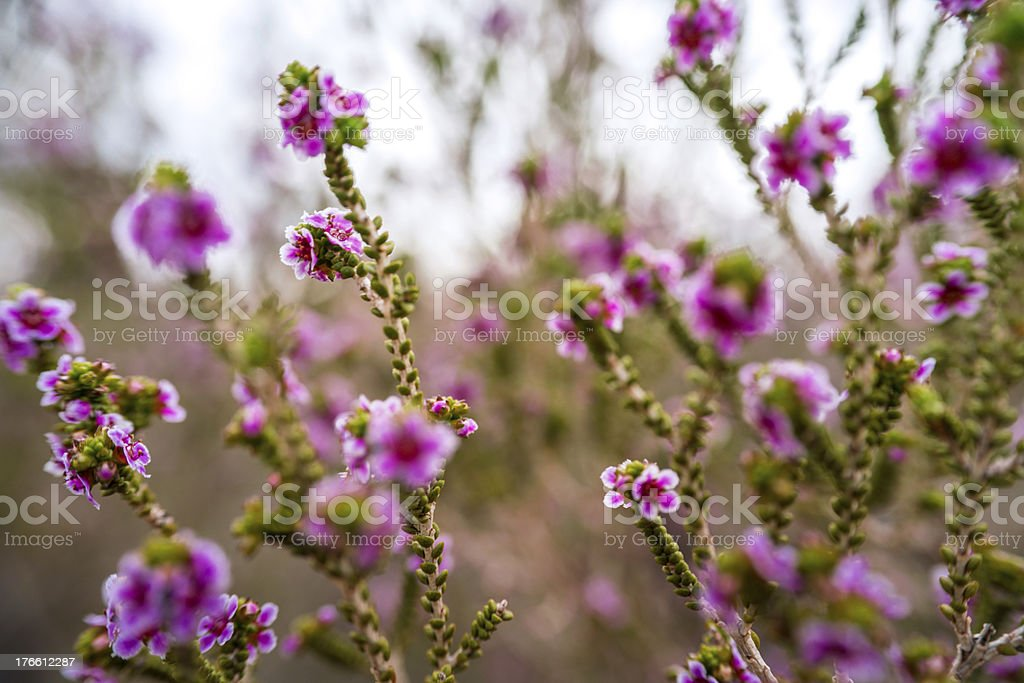 Outback Flowers stock photo
