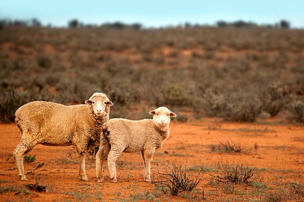 Outback Sheep  merino sheep stock pictures, royalty-free photos & images